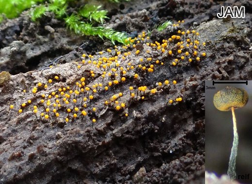 Physarum viride